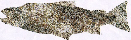 Salmo salar Linnaeus- Salmón-Atlantic Salmon