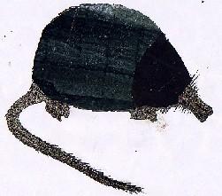 Galemys pyrenaicus-Furapresas-Pyrenean desman