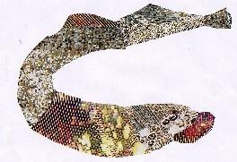 Petromyzin marinus Linnaeus-Lamprea-Sea lamprey
