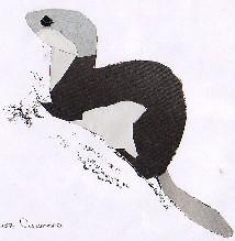 Mustela erminea-armiño-ermine