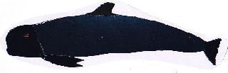 Globicephala mela-caldeirón común-pilot whale