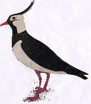 Vanellus vanellus-avefría-Lapwing