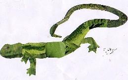 Lacerta lepida oteroi-Lagarto arnal de Sálvora-Eyed Lizard